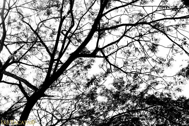 philippine tree